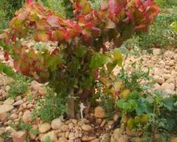 Regrafting shiraz decline