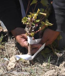 grafting onto rootstock in the field